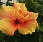 Apricot Hibiscus Flower