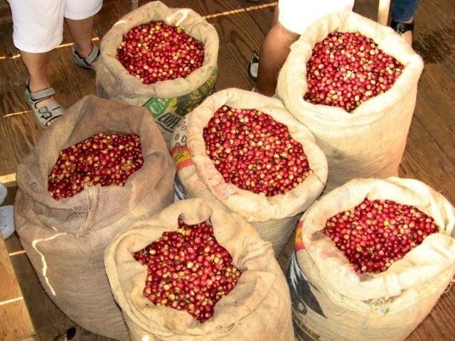 Kona Coffee Harvest